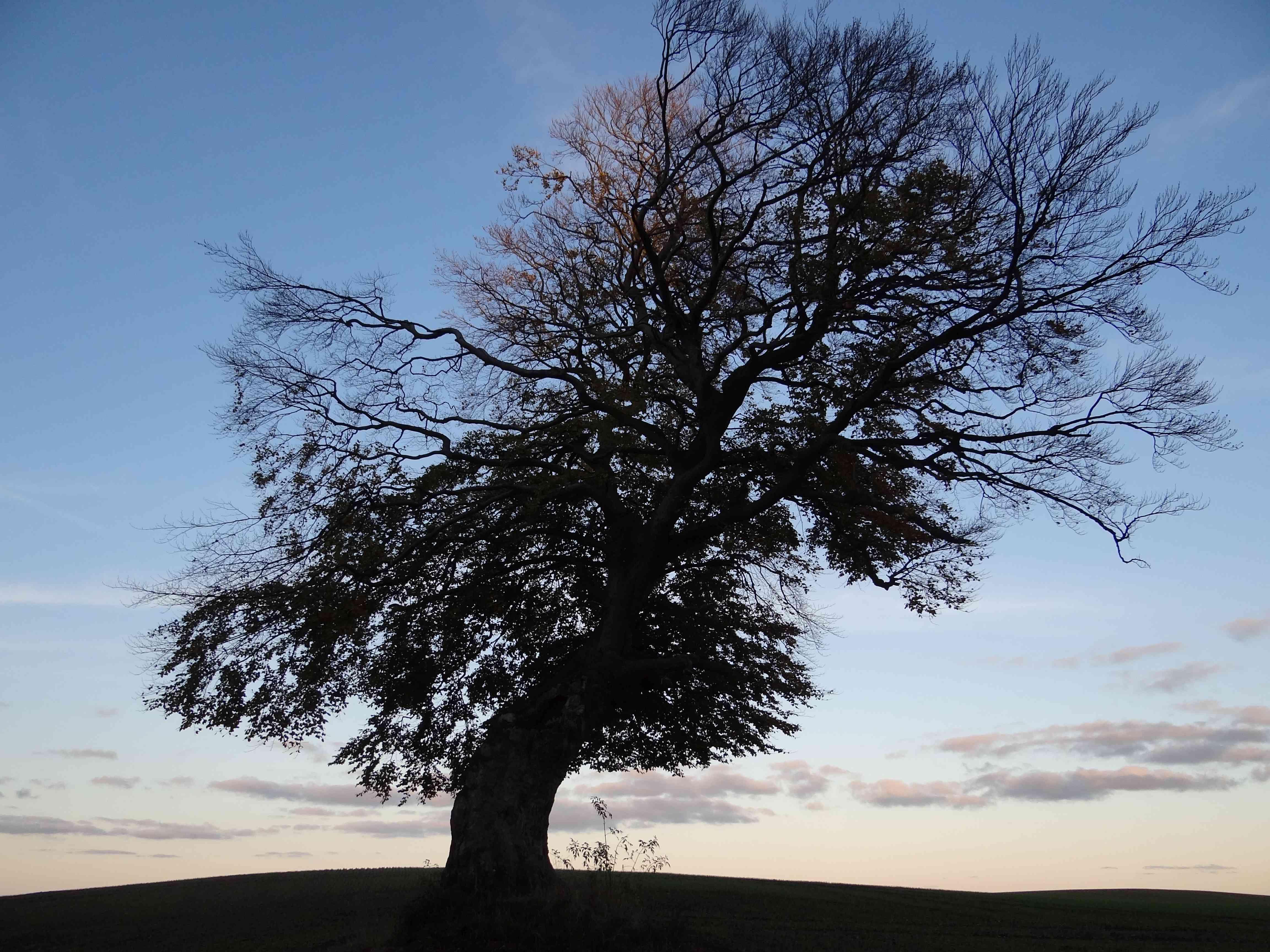 Schiefer-Baum